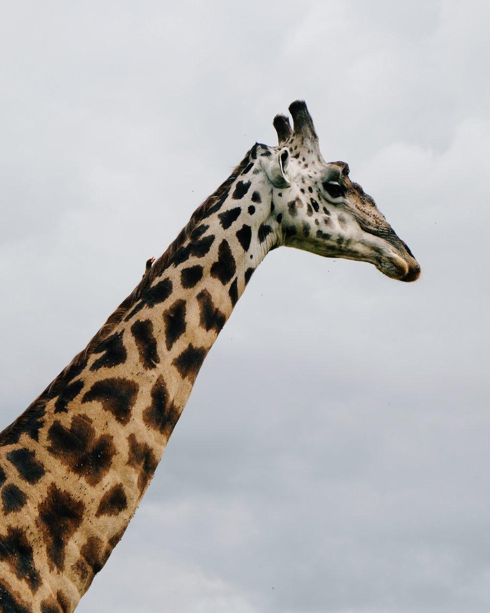 Giraffe in Maasai Mara Kenya by Joost Bastmeijer.jpeg