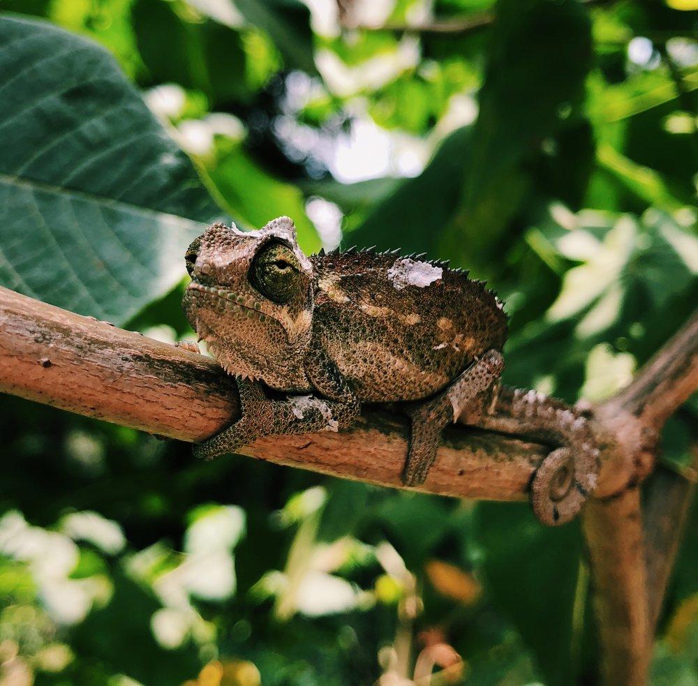 Kenya Chameleon by Joost Bastmeijer.jpeg