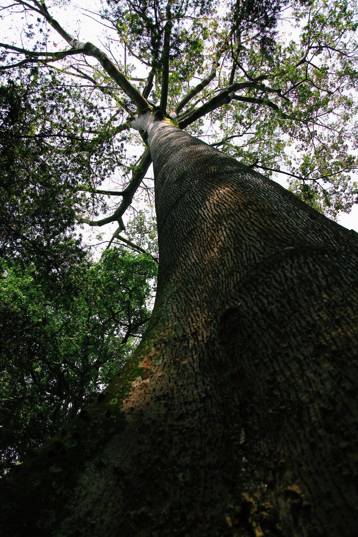A tall tree in Entebbe Botanical Garden by Joost Bastmeijer.JPG