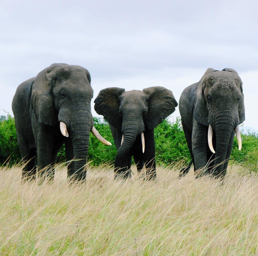 Elephants in QENP by Joost Bastmeijer.JPG
