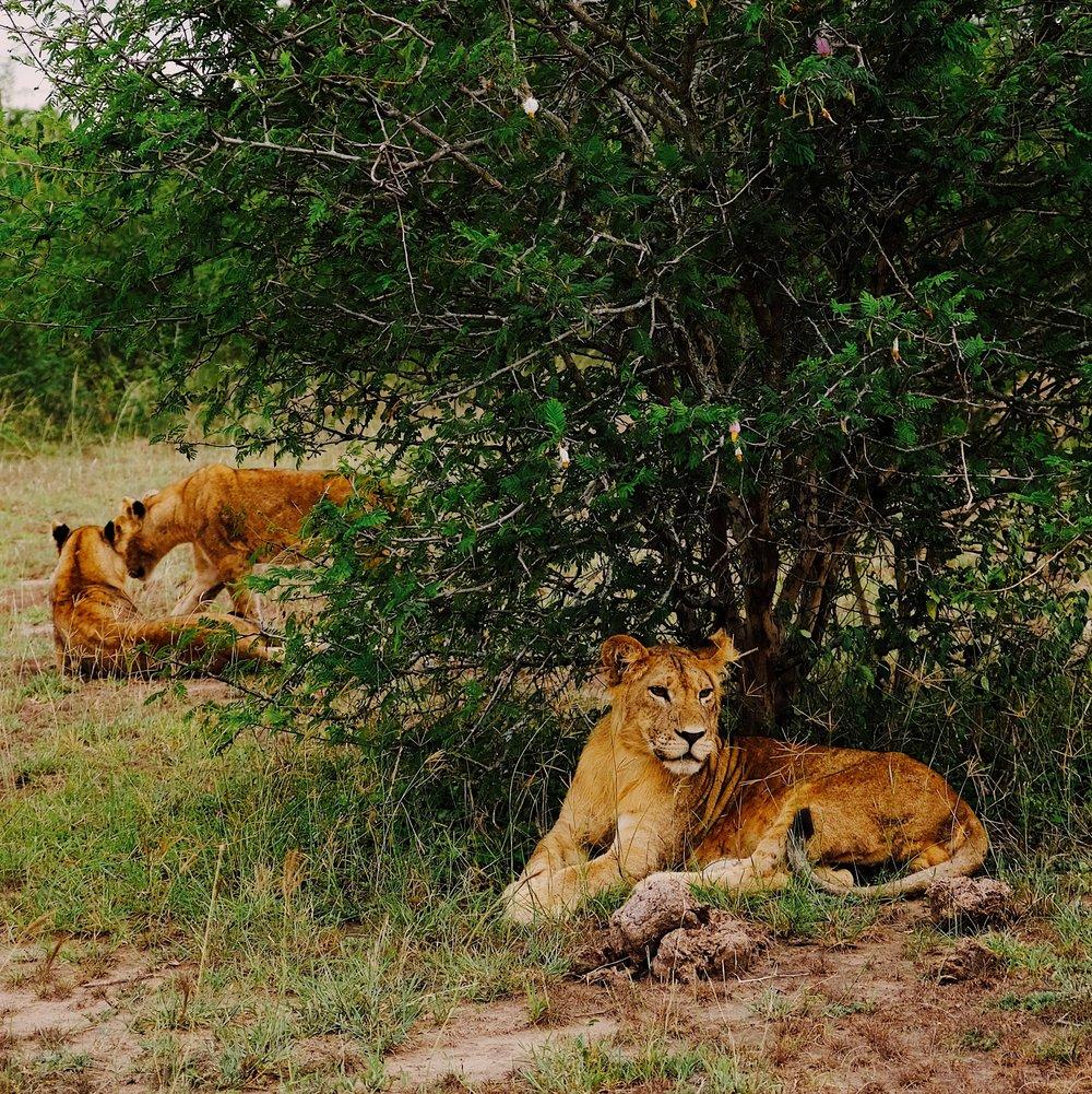 Lions in QENP by Joost Bastmeijer.JPG