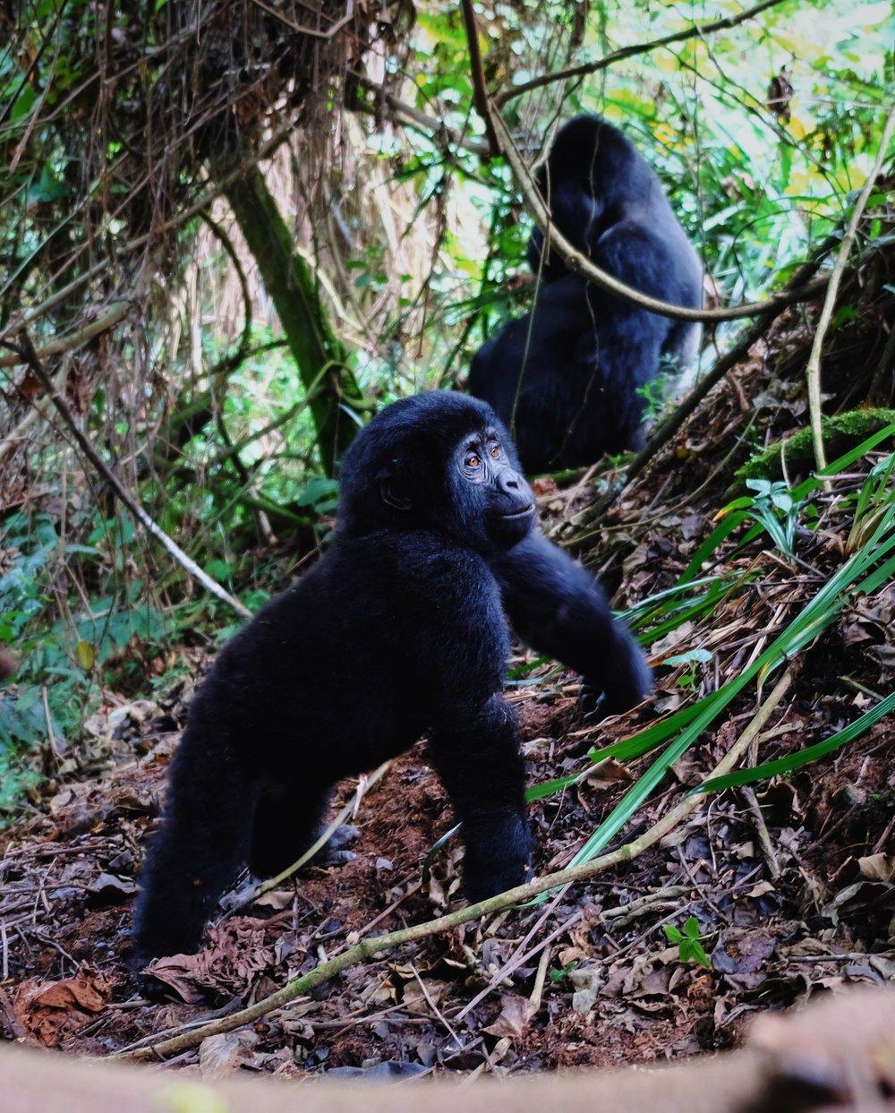Bwindi mountain gorilla baby  by Joost Bastmeijer.JPG
