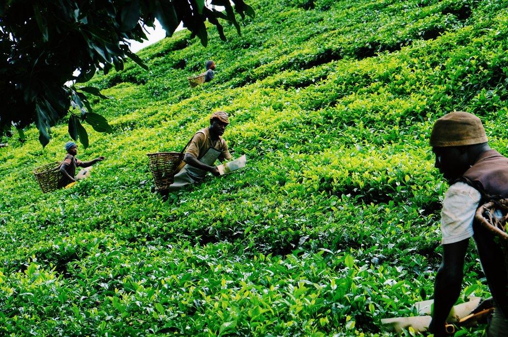 Tea pluckers Uganda by Joost Bastmeijer.JPG