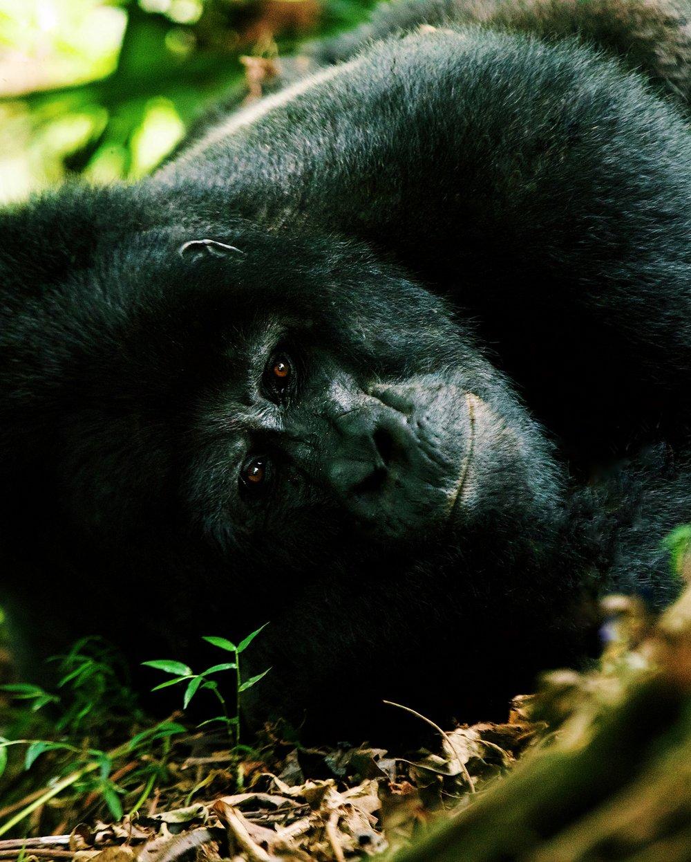 Mountain Gorilla silverback in Bwindi Uganda by Joost Bastmeijer.jpg