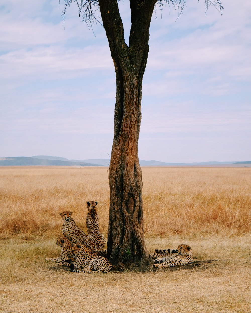 A coalition of five cheetahs relax under an acacia tree in Kenyas Maasai Mara.JPG