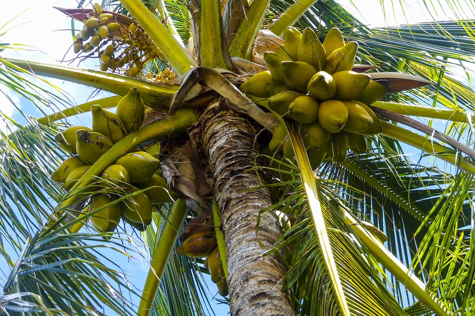 Coconut palm plant.jpg