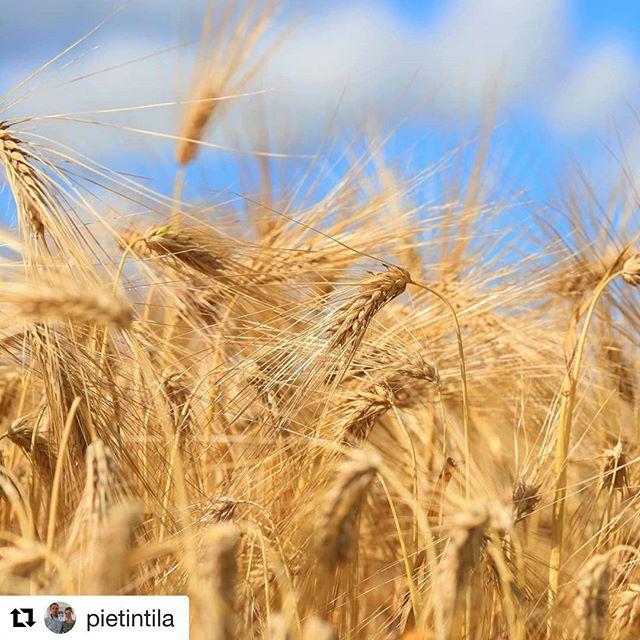 @pietintila lla valmisudutaan valmistaudutaan sadonkorjuuseen. Mikä on tilanne sinun tilallasi? 🌾 #repost #sadonkorjuu #harvest