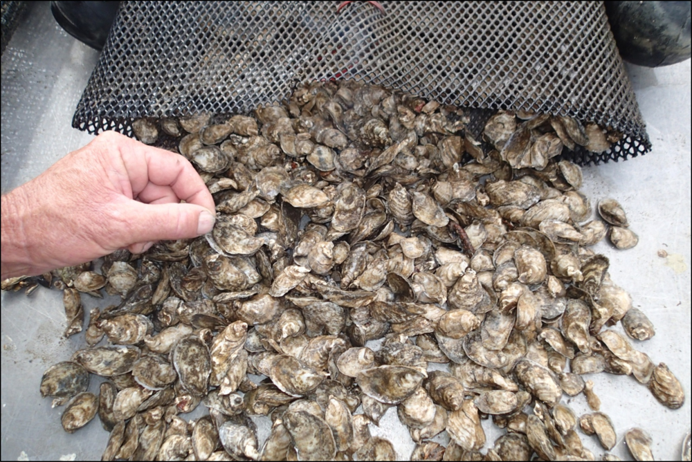 Sandbar seed oysters in bag 20180307.png