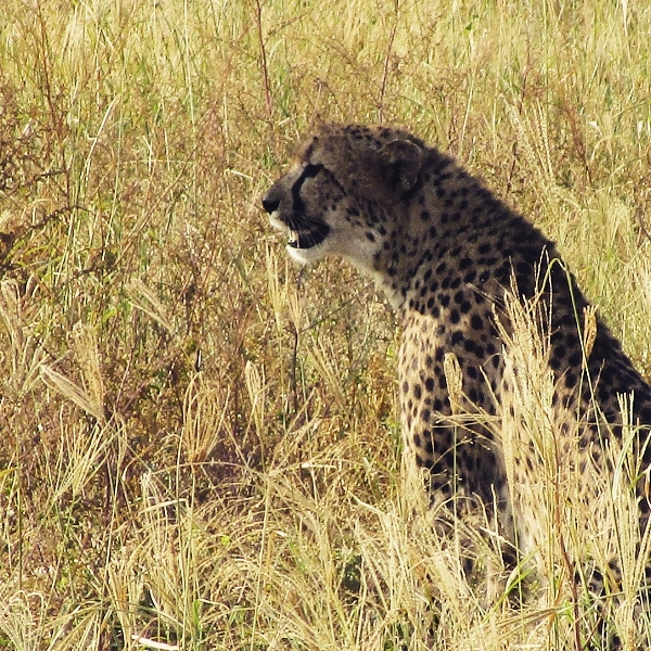 Cheetahs are hard to find so we were thrilled to see this mother and two cubs one morning. We also spotted two white rhinos with a calf. A good day out!