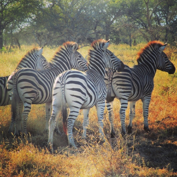 My big five are different from the usual Lion, Leopard, Elephant, Water Buffalo, and Rhino.  Give me Zebra, Giraffe, Monkeys, Ostriches and Cheetah! We saw all ten except the elusive ieopard within our reserve. African Spirit Safaris delivered!