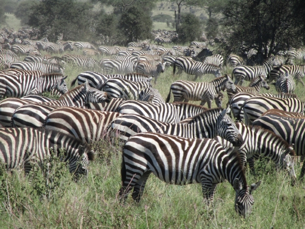 This looks like a op-art painting! A herd of Zebra can also be called a dazzle - I love that.