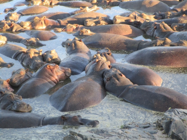 You could smell these hippos well before you found them in their wallow. A group of hippos is called a bloat - how appropriate.
