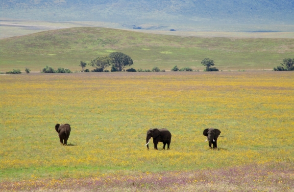 Gentle giants wandering the flower covered floor of the Ngorongoro Crater.