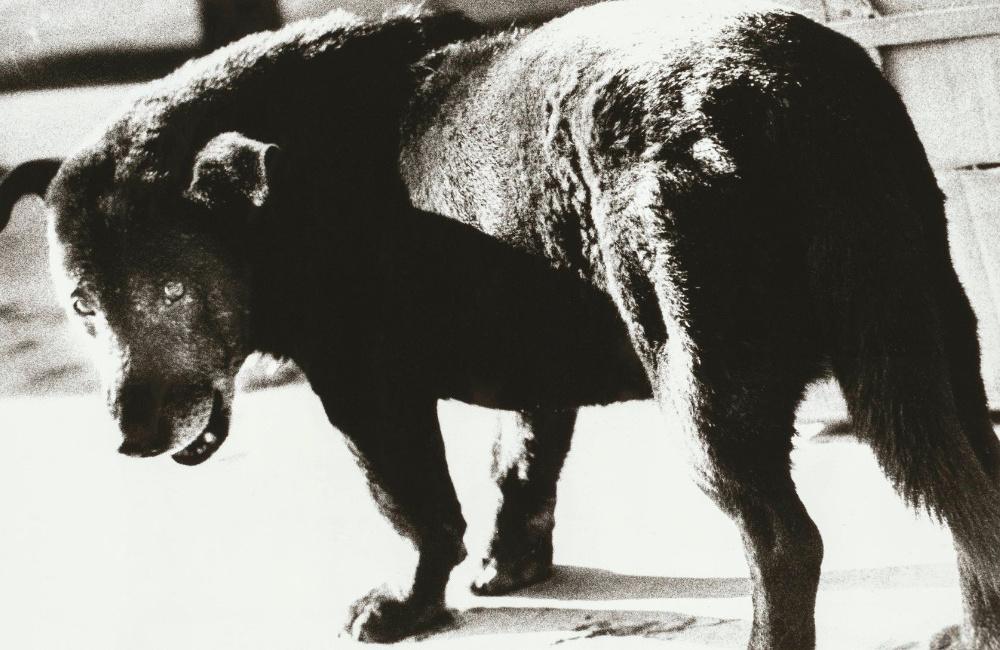 Stray Dog, Misawa, Aomori, 1971  by Daido Moriyama