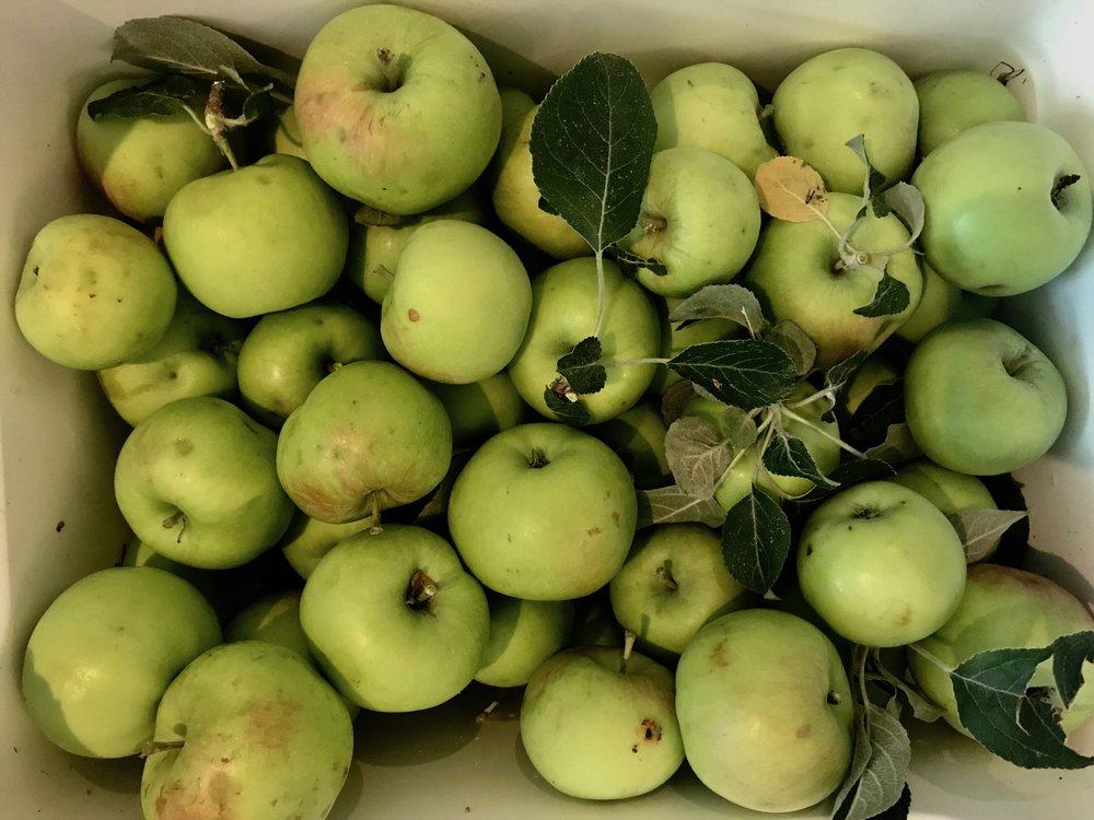 apple apples.jpg