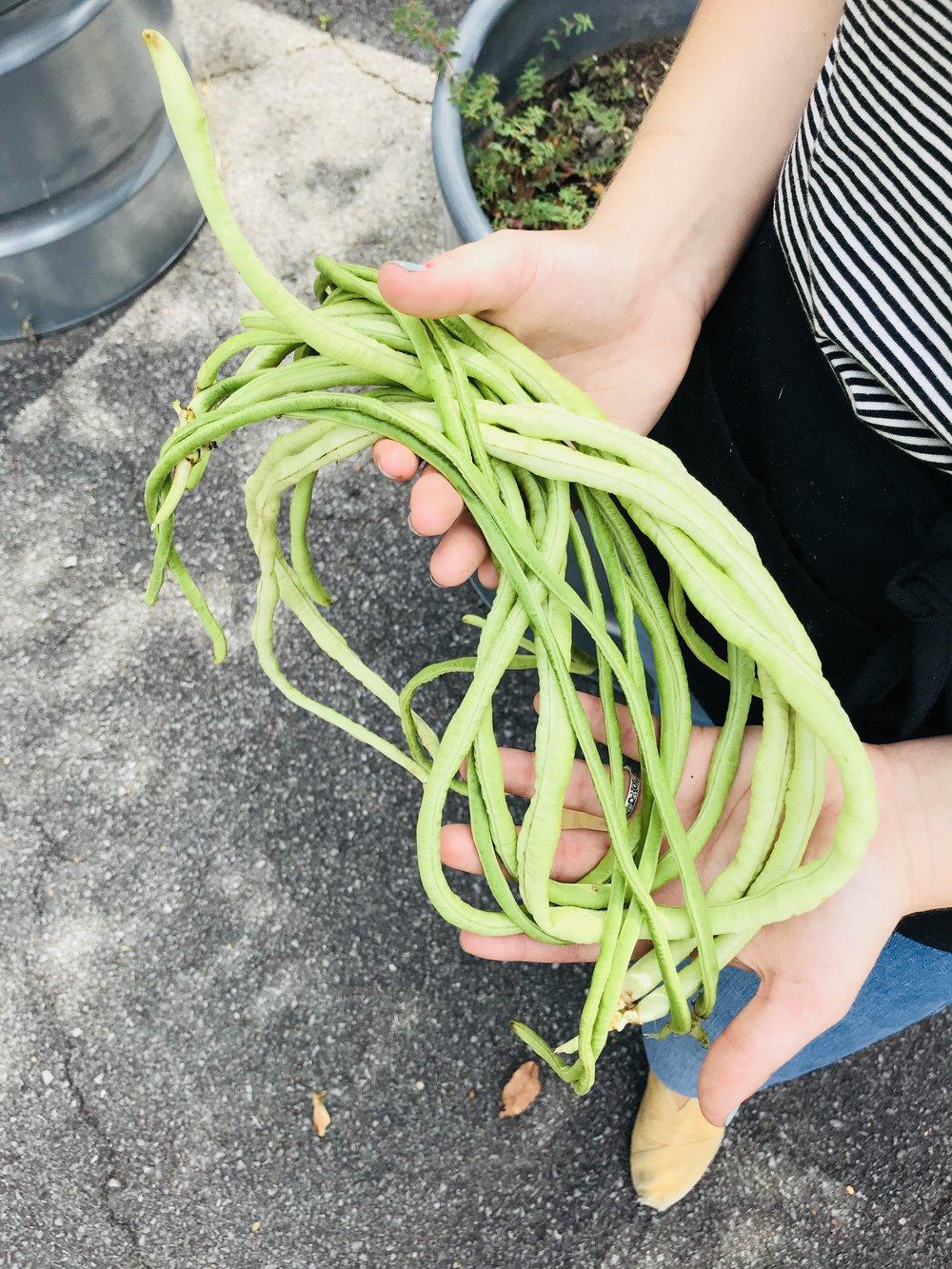 Yard Long Beans /  Stone Hollow Farmstead