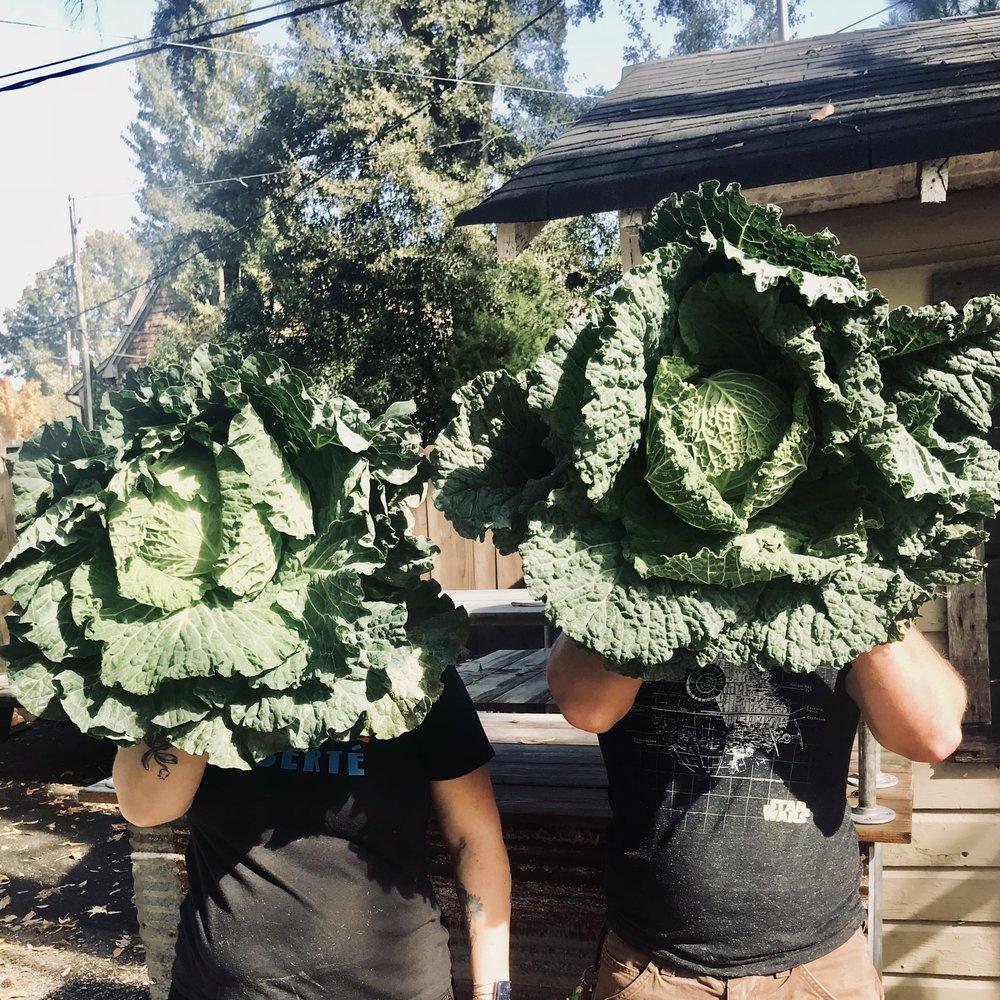 Green Cabbage  / Habersham Farm