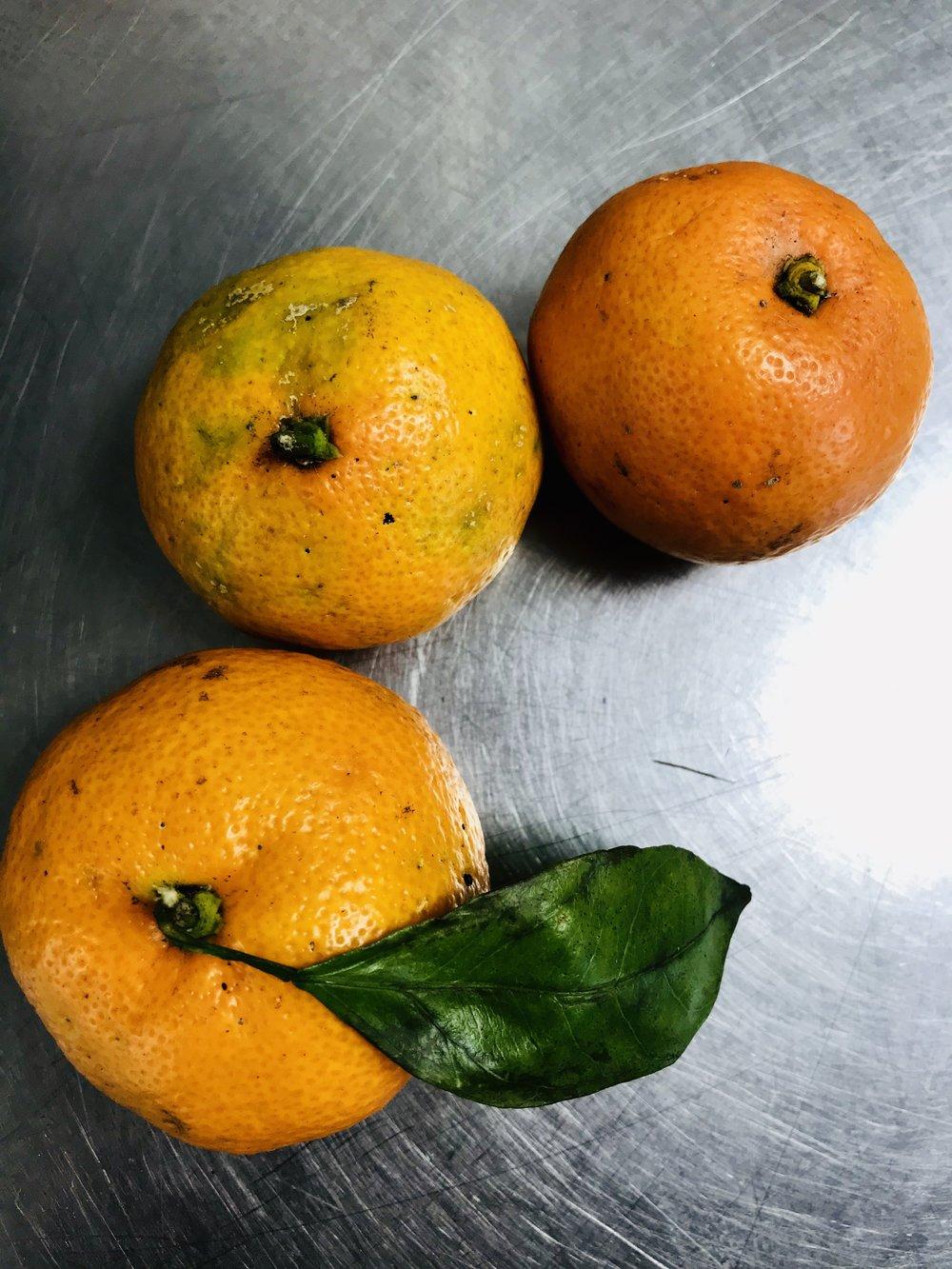 Satsuma Tangerines /  Florida