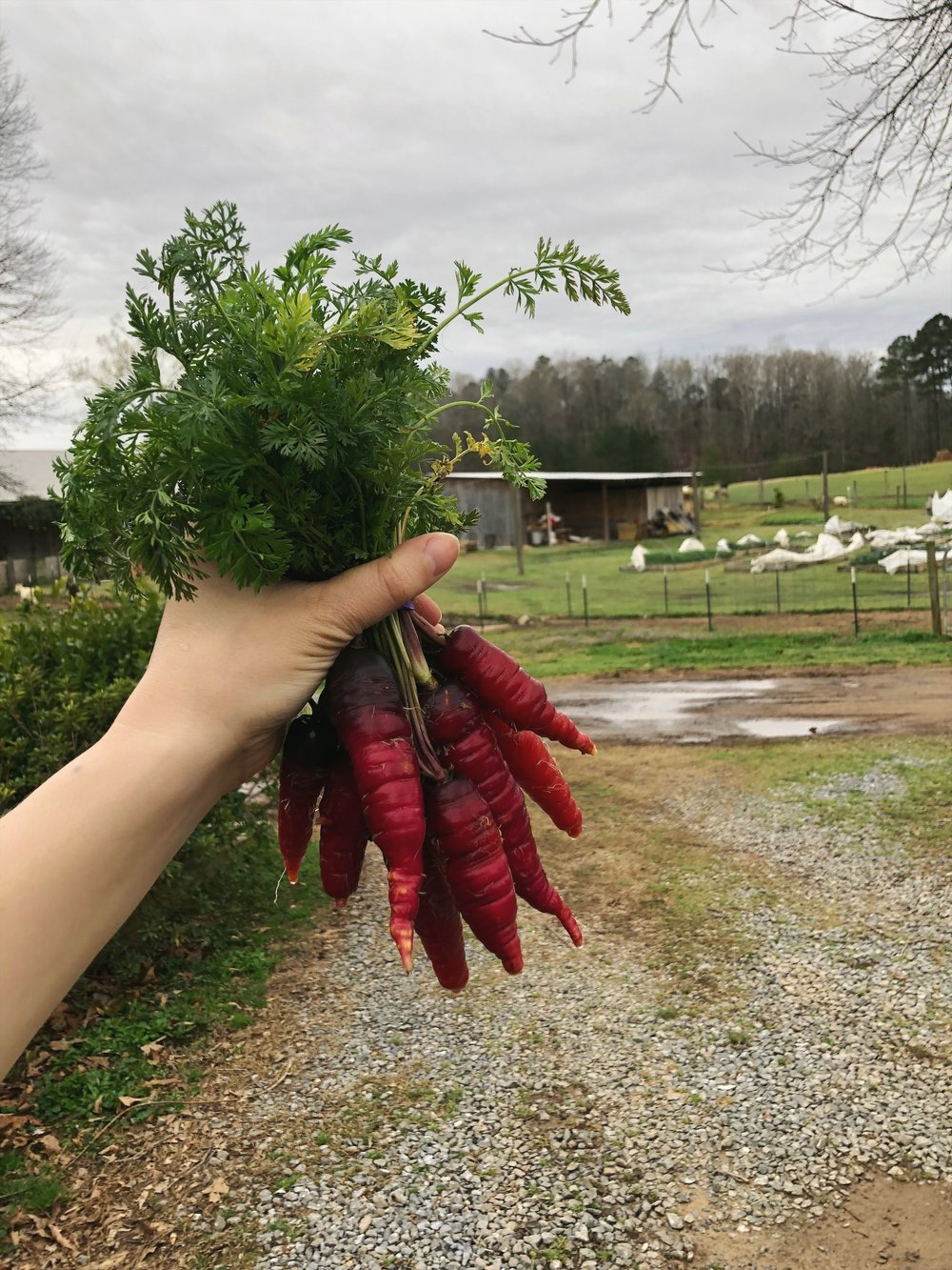 Red Carrots /  Stone Hollow Farmstead
