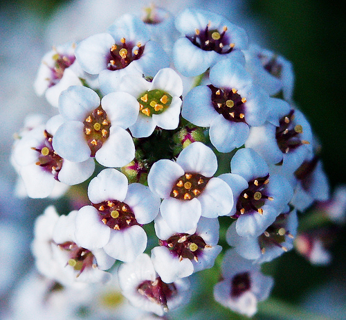 "Tell someone they have so much worth. Did you know that the flower ""Alyssum"" means worth beyond beauty??"