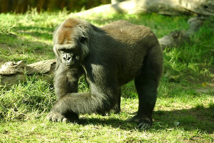 GorillaWalking.jpg