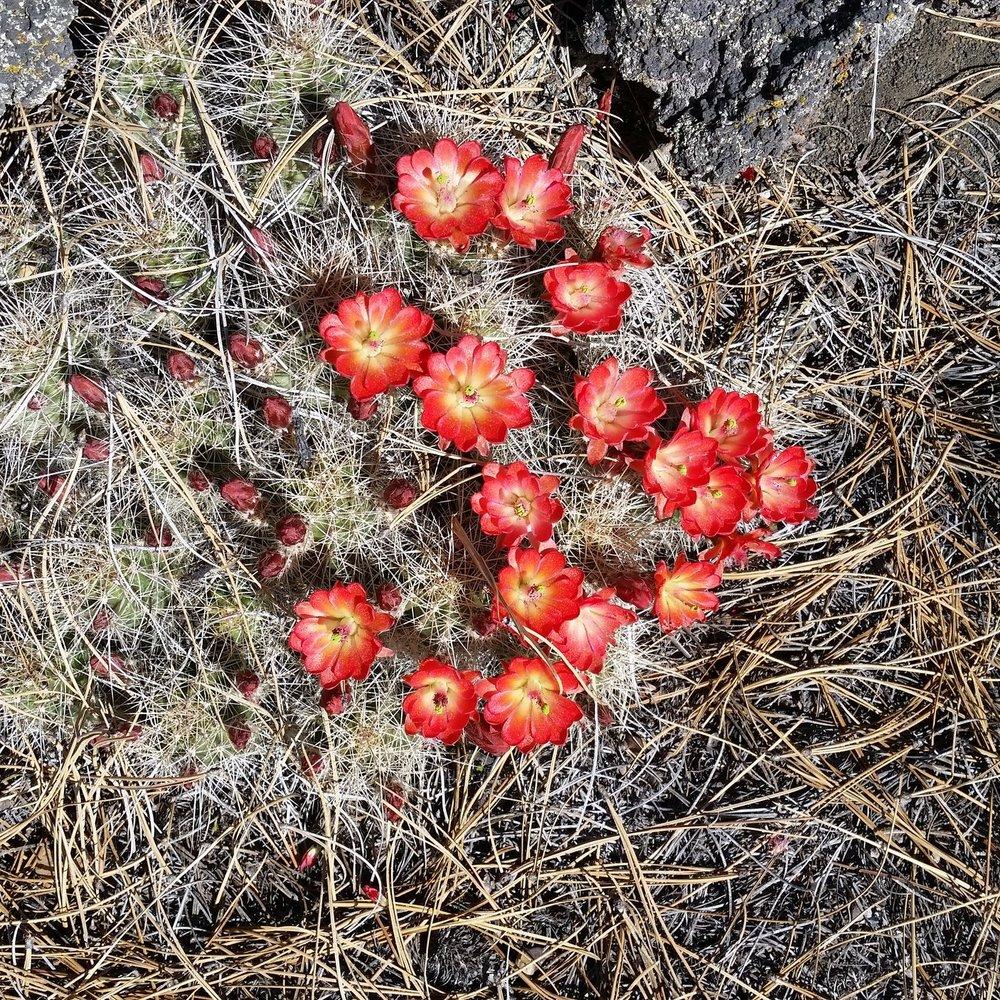 Volcanic Cactus.jpg