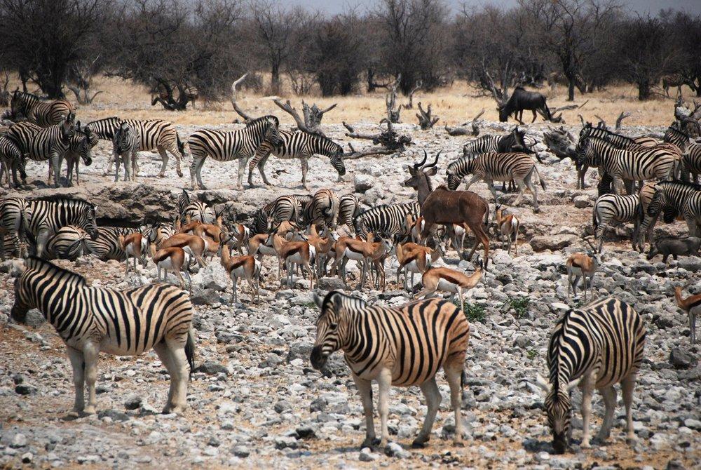 Animals gathering around a waterhole in Etosha National Park, Namibia - photo by Martin Callum