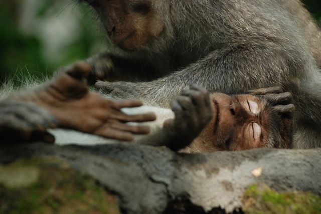 Sacred Monkey Forest in Ubud, Bali.  This guys looks pretty peaceful right now but they can be quite mischievous.