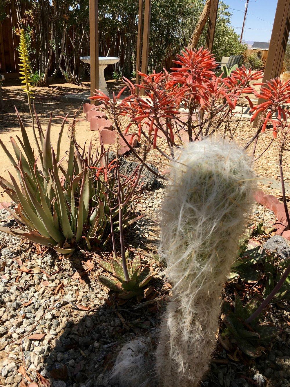 Pine Spring Cacti