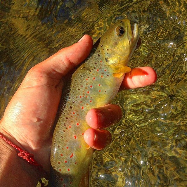 A wild fish on the Gunpowder #flyfishing #getoutside