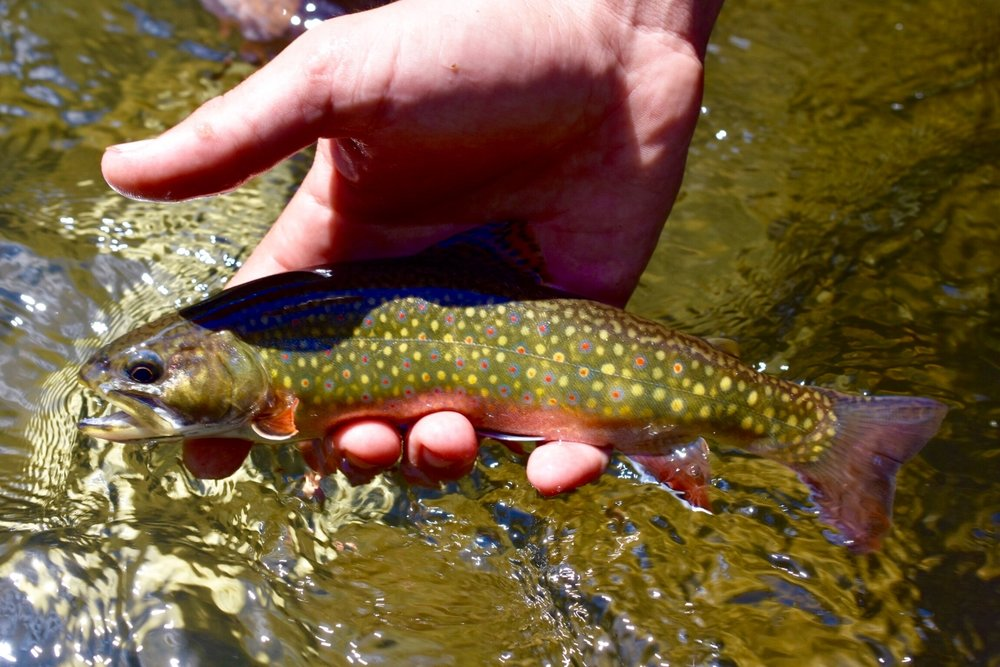West Virginia brook trout