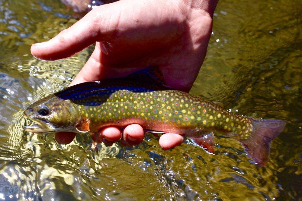 fishwhistler_brookie.jpg