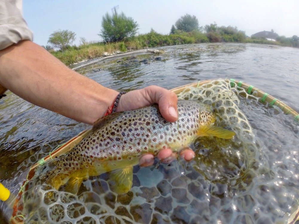 Beverhead Browntrout