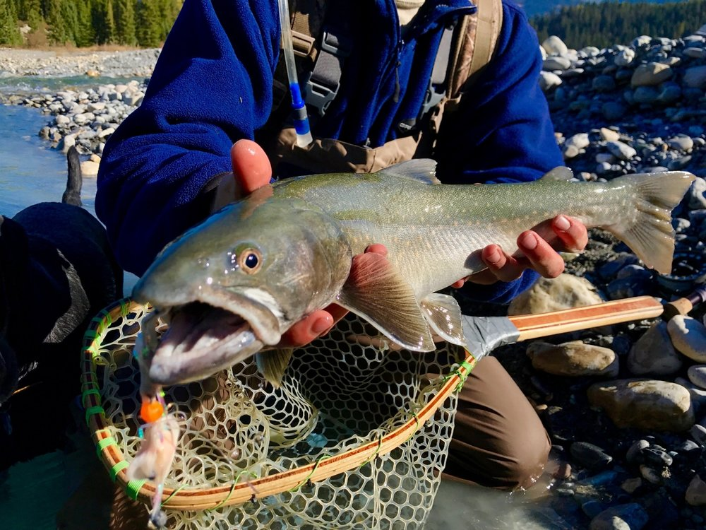British Colombia Bull Trout