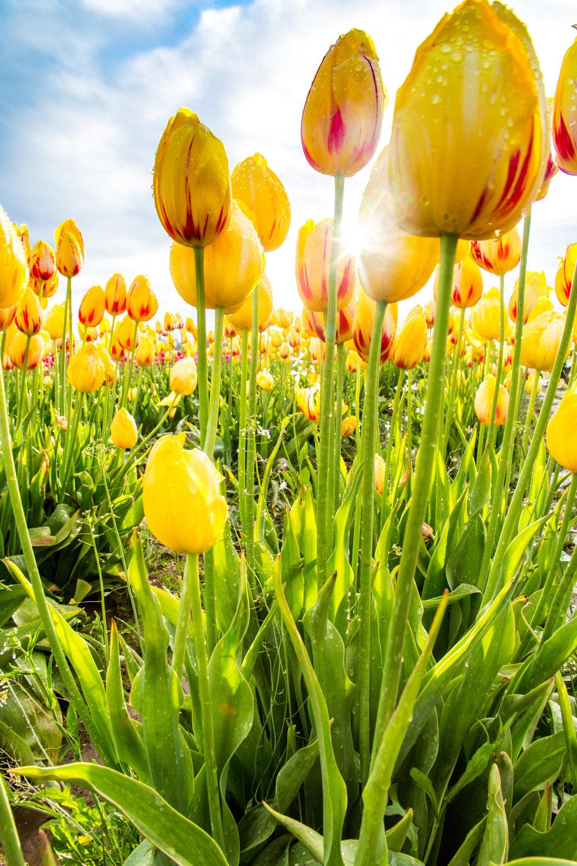 Morning Light on Yellow Tulip