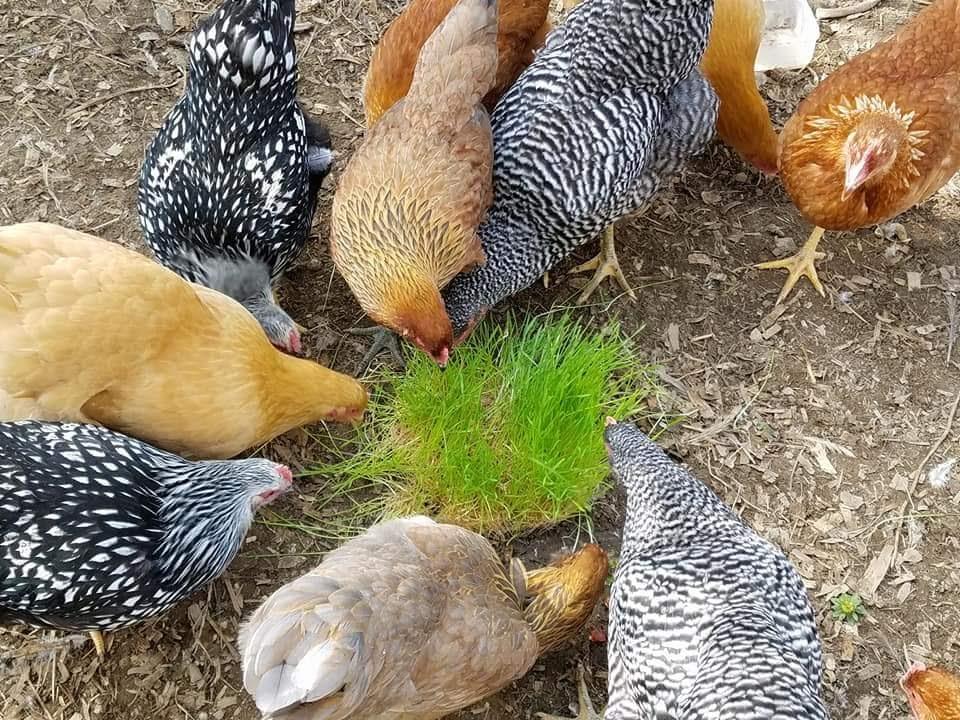 Enjoying their wheat grass.