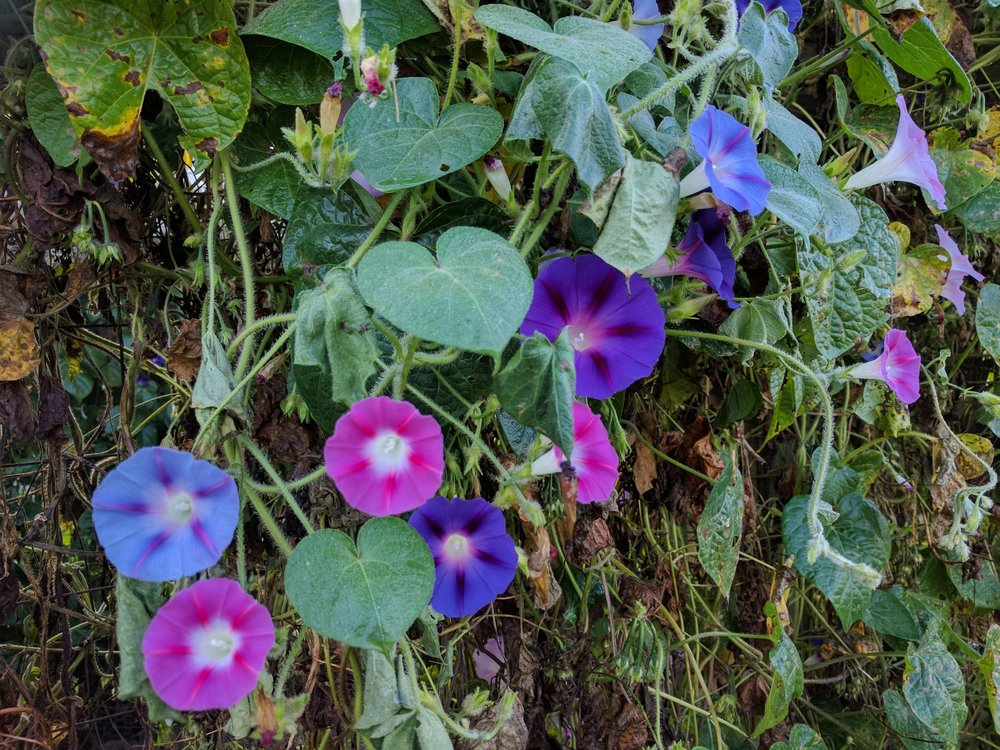 Morning glories sure are pretty, and they grow like weeds!