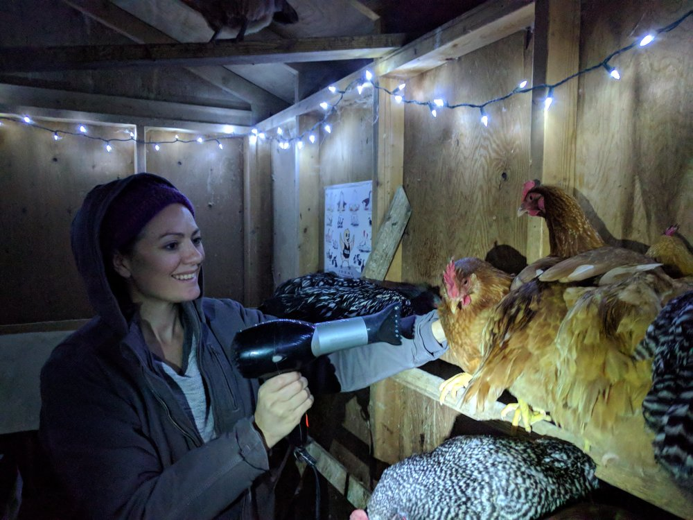 Blow drying chickens. On the low setting making sure not to directly heat their comb and wattles is totally safe (and enjoyable, sort of!)