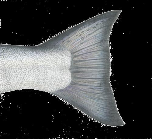 Chinook Tail