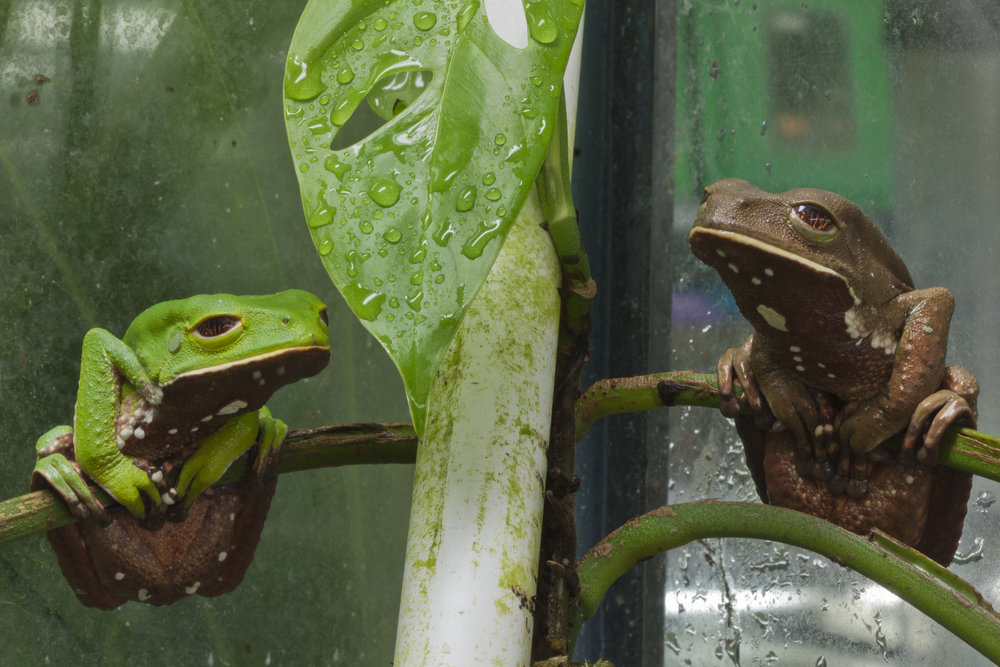 Phyllomedusa venusta , El Valle Amphibian Conservation Center, Panama