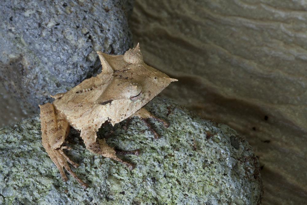 Casque-headed frog  Hemiphractus fasciatus, El Valle Amphibian Conversation Center, Panama