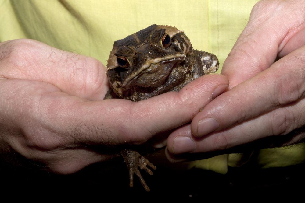 Sapo Costaricense de la Selva  Incilius melanochlorus  Costa Rican Amphibian Research Center