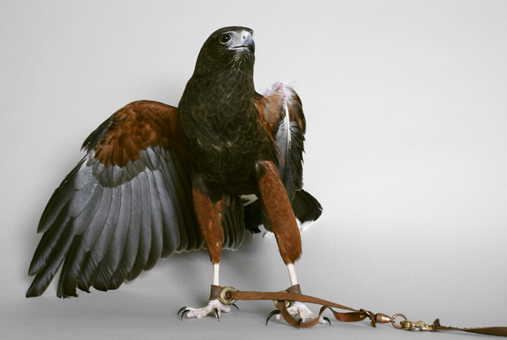 Renee Martin,  Untitled (Harris Hawk)  , 2008