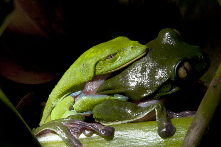 Monkey Frogs, Agalychnis annae, (member of the Hylidae family) in amplexus, Hotel Bougainvillea, Santo Domingo, Costa Rica (used to be found frequently in local coffee plantations)