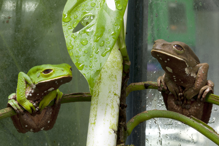 Monkey Frogs, Phyllomedusa venusta, parents EVACC