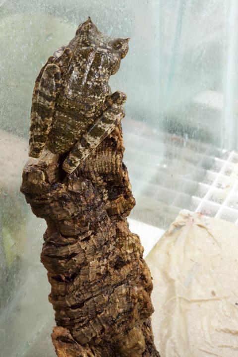 Horned Marsupial, Gastrotheca cornuta, EVAAC