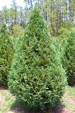 Murray Cypress 1.jpg