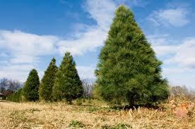 HA Pines.jpg