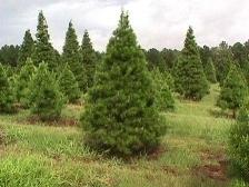 Virginia Pine 1.jpg