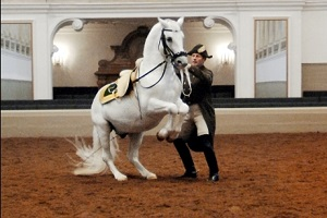 Lipizzaner - Spanish Riding School1.jpg